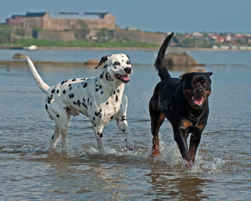 达尔马提亚狗和Rottweiler沐浴,戏剧和有美好时光 免版税库存图片