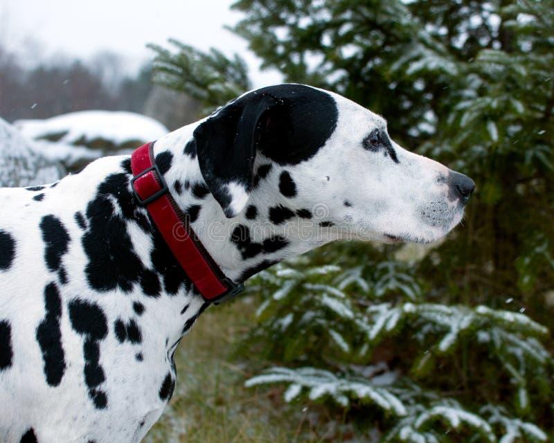 达尔马提亚狗在一斯诺伊天 免版税图库摄影