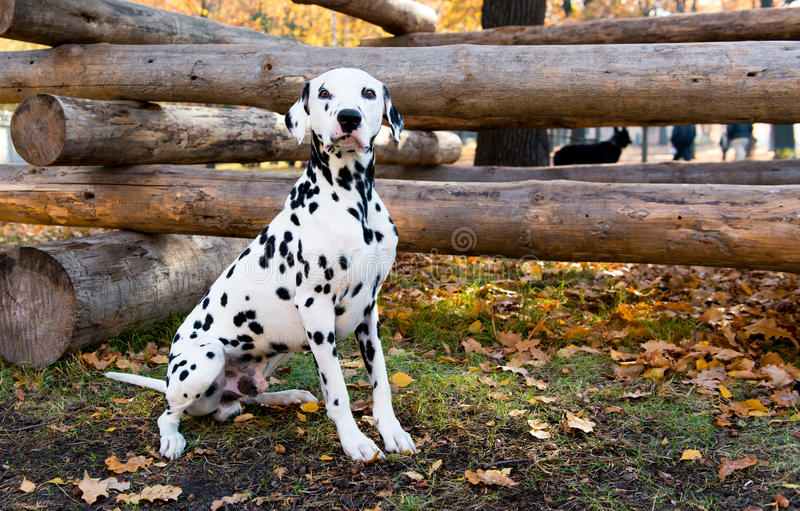 达尔马提亚狗在日志附近安装 免版税图库摄影