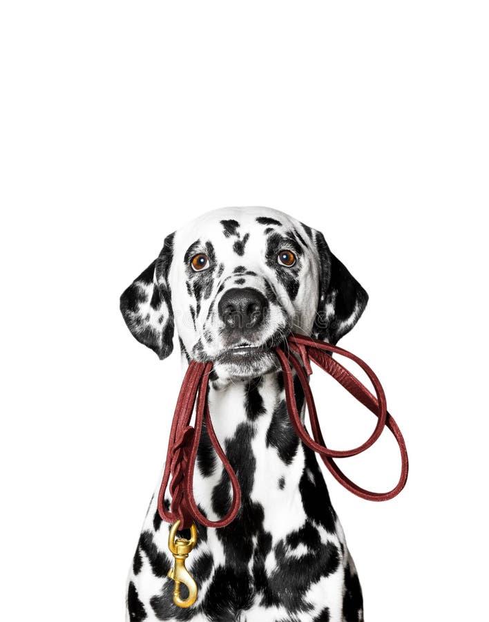 达尔马提亚狗拿着皮带 免版税库存图片