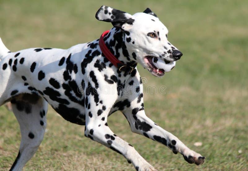 达尔马提亚狗,与多斑点的球的多斑点的狗 库存图片