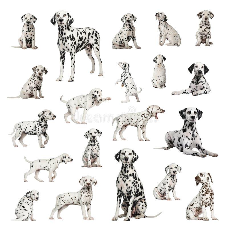 达尔马提亚狗,成人,小狗,另外位置的大收藏量 免版税库存照片