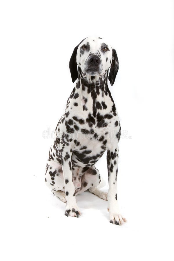 达尔马提亚狗 库存图片