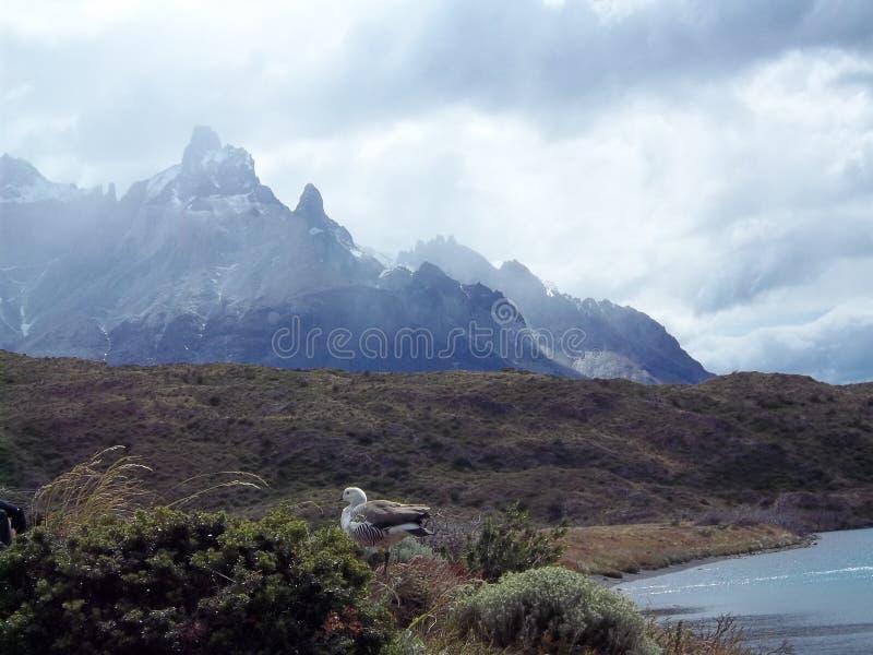迁徙在托里斯del潘恩,智利 免版税库存图片