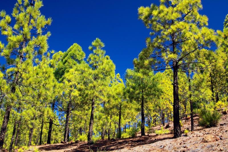 迁徙对从比拉夫洛尔的Paisaje月球月亮风景沿生长在熔岩的绿色canarian松树松属canariensis 免版税库存图片