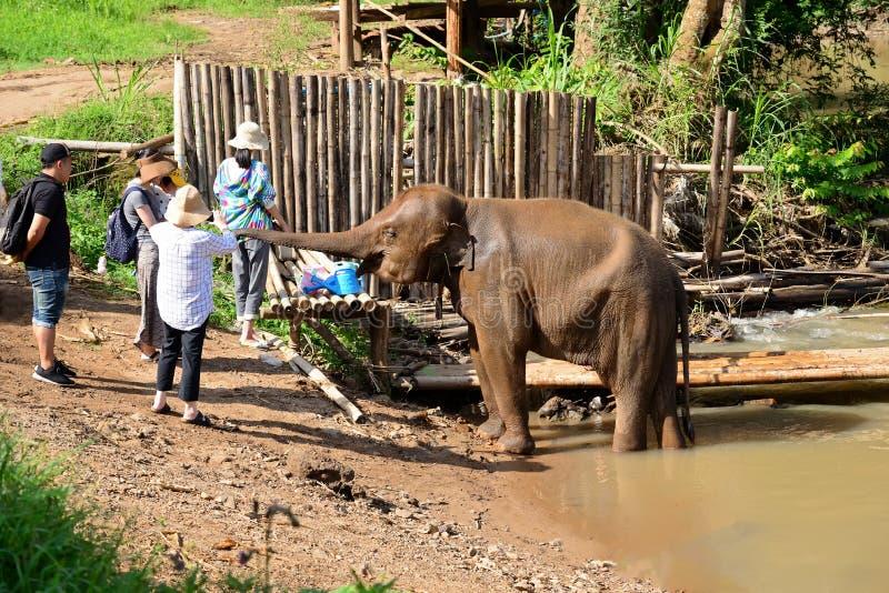 迁徙通过密林Maetaman大象阵营chiangmai泰国北部的大象 库存照片