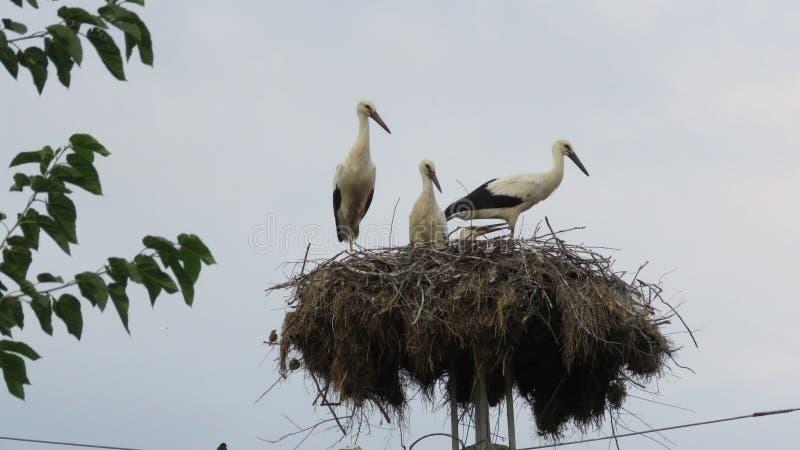 迁徙鸟和鹳巢 嵌套鹳 库存图片