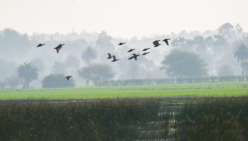 迁移鸭子在有雾的早晨 免版税库存照片