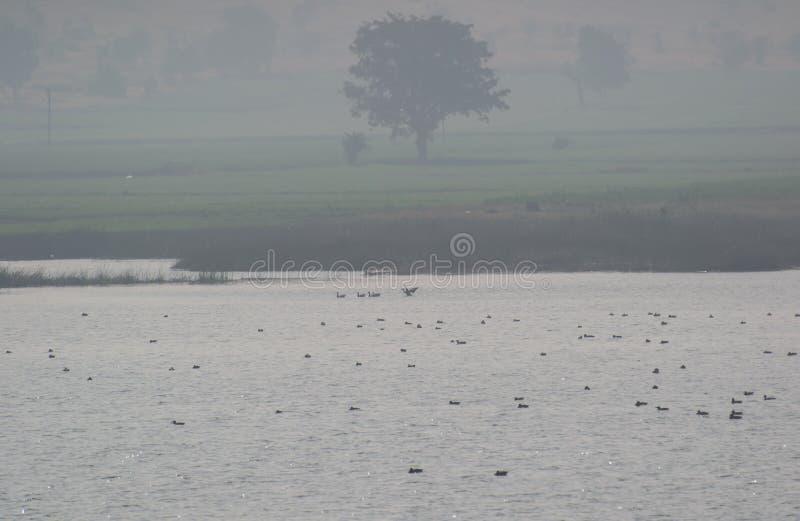 迁移鸭子Bar-headed鹅在有雾的早晨 免版税图库摄影
