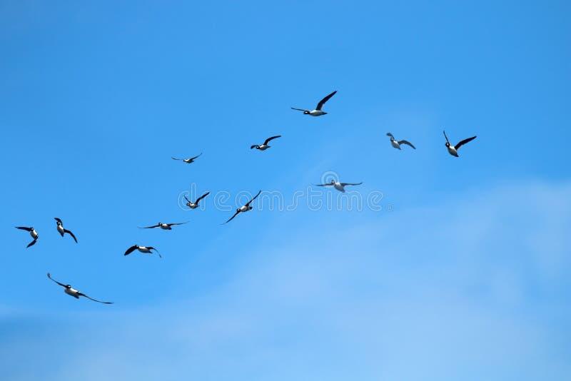 迅速地飞行的鸭子 库存照片