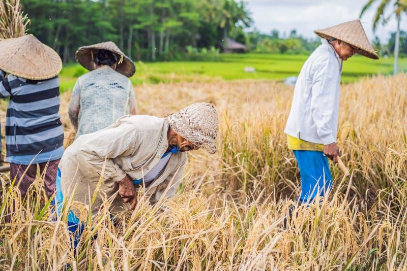过滤在Ubud,巴厘岛的领域的印度尼西亚农夫人米 在农村中国完成的普遍做法,越南,泰国 免版税库存照片