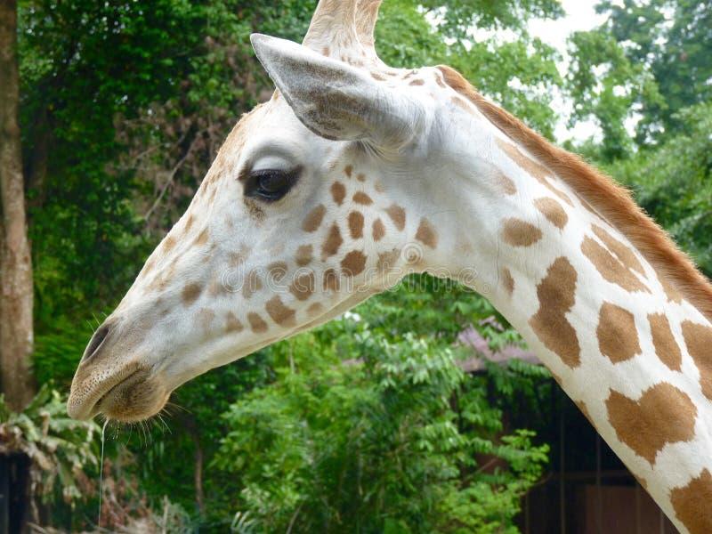 过量分泌唾液的长颈鹿 免版税库存照片