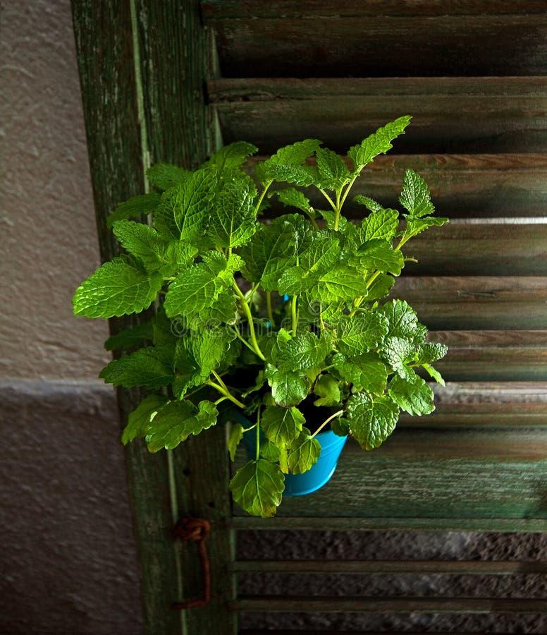迈利萨角一个蓝色罐的officinalis植物 免版税库存照片