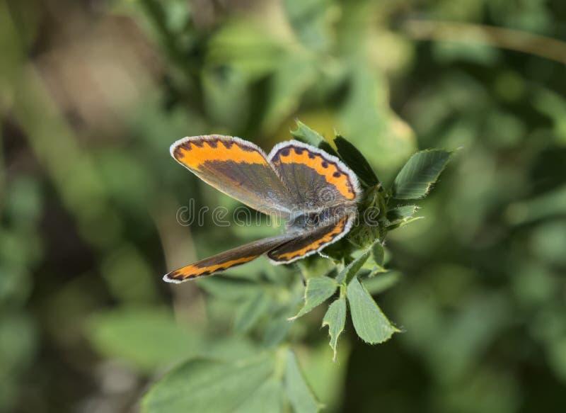迈利萨角蓝色蝴蝶 免版税库存图片