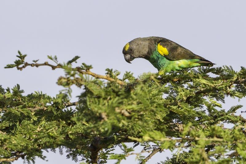 迈尔的(布朗)鹦鹉,被栖息 免版税图库摄影