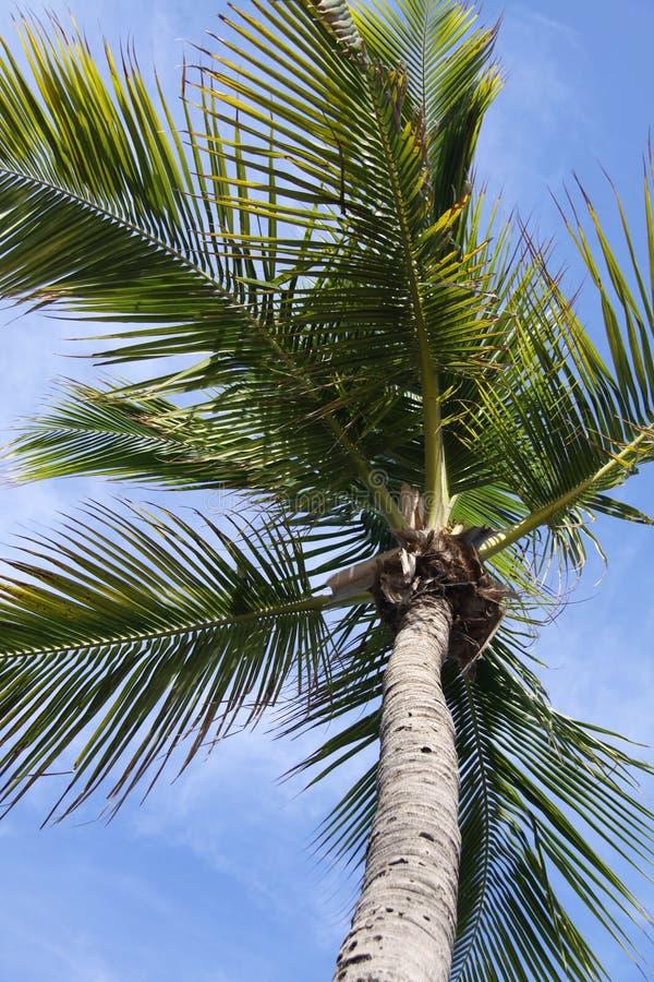 迈阿密棕榈树 免版税库存图片