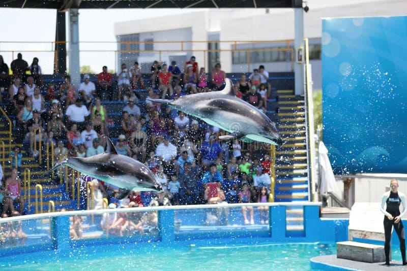 迈阿密Seaquarium海豚 免版税库存照片