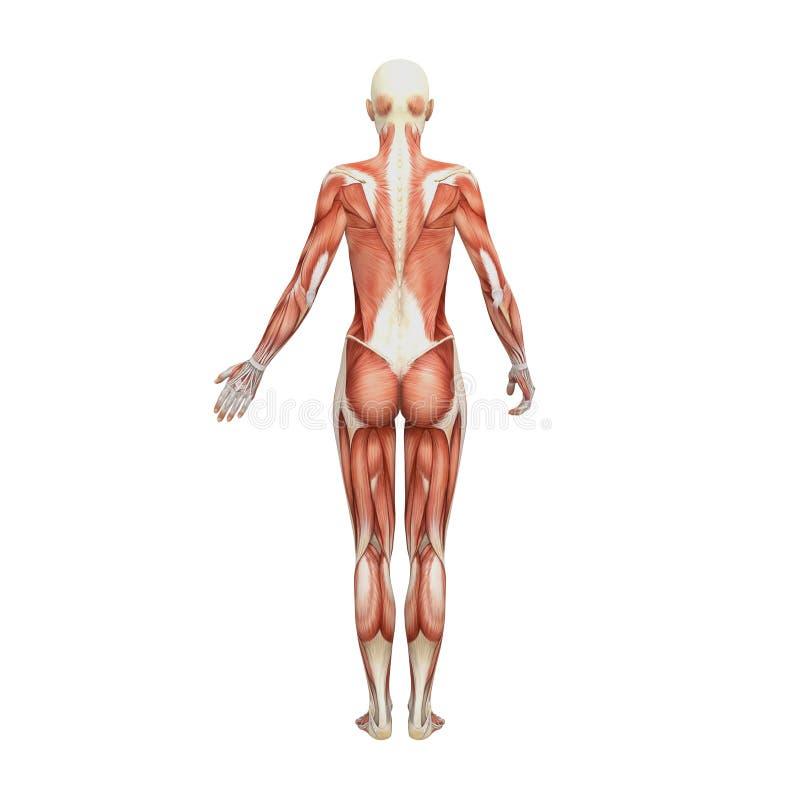 运动女性人力解剖学和肌肉 库存例证