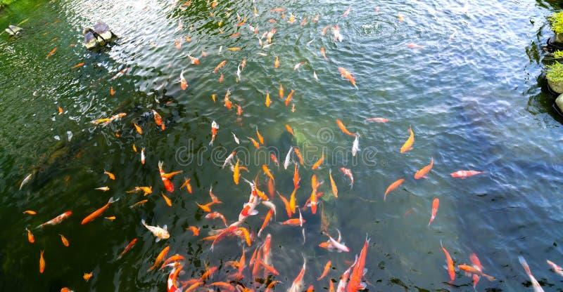 运动小组五颜六色的koi鱼在清楚的水中 免版税库存图片