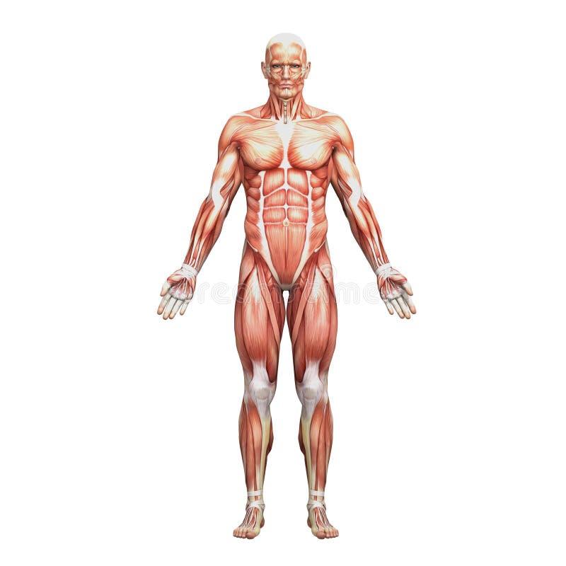 运动男性人力解剖学和肌肉 皇族释放例证