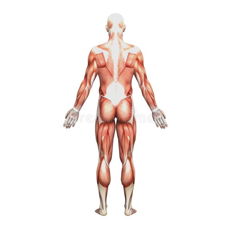运动男性人力解剖学和肌肉 向量例证
