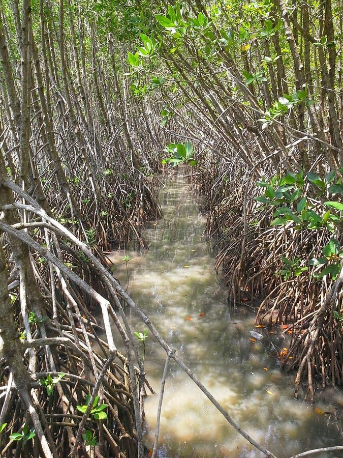 运河在美洲红树森林,宋卡,泰国里 库存图片