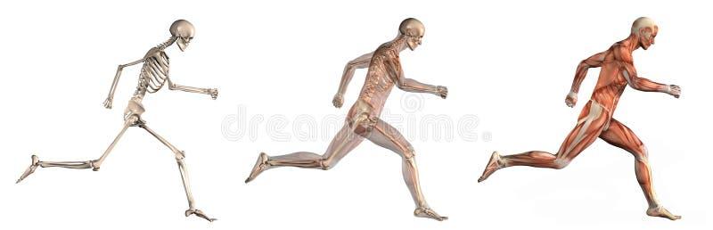 运行侧视图的解剖人重叠 向量例证