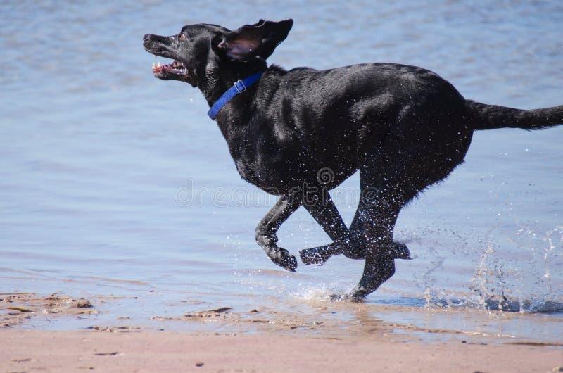 运行在水中的黑色拉布拉多猎犬 免版税库存图片