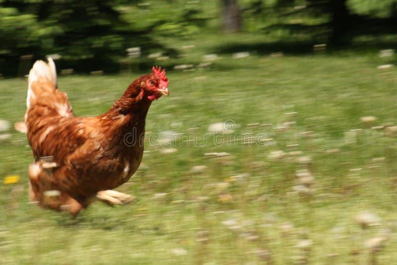 运行在草甸的自由放养的母鸡 库存照片