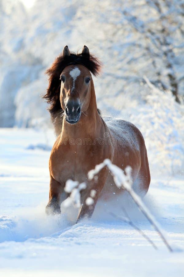 运行多雪的冬天的域马 免版税库存照片