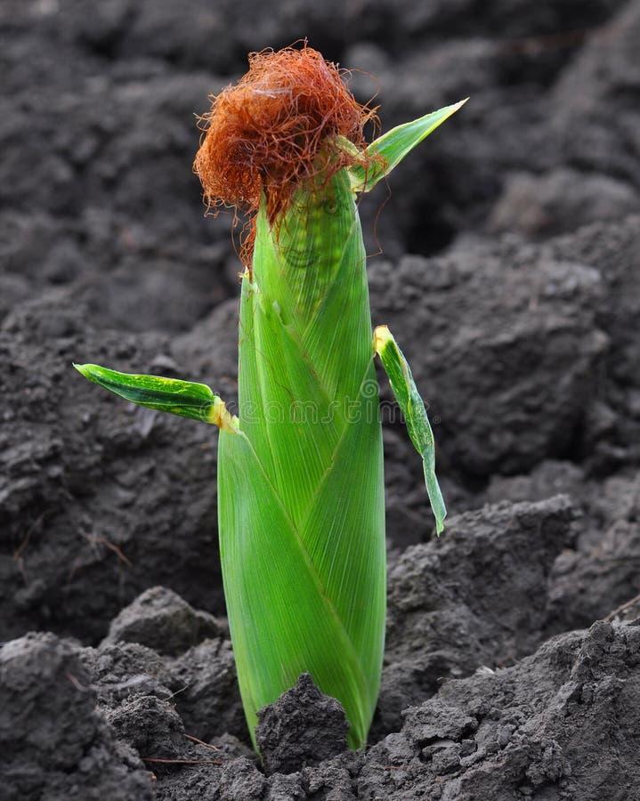 运行玉米 免版税库存图片