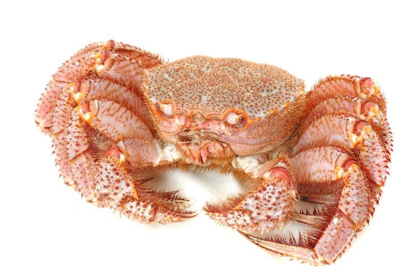 运行螃蟹国王 库存照片