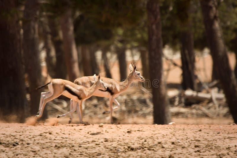 运行s thomson的瞪羚 免版税库存图片