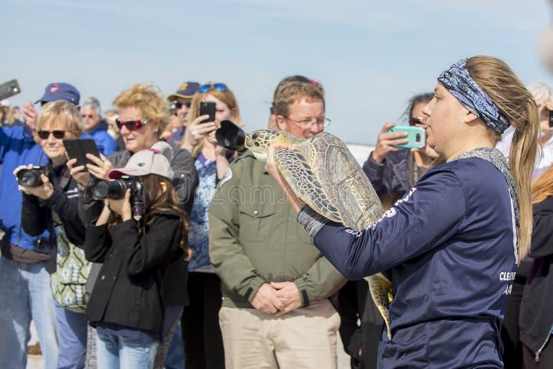 运载一只绿浪乌龟的Clearwater海洋水族馆志愿者对海 免版税库存照片