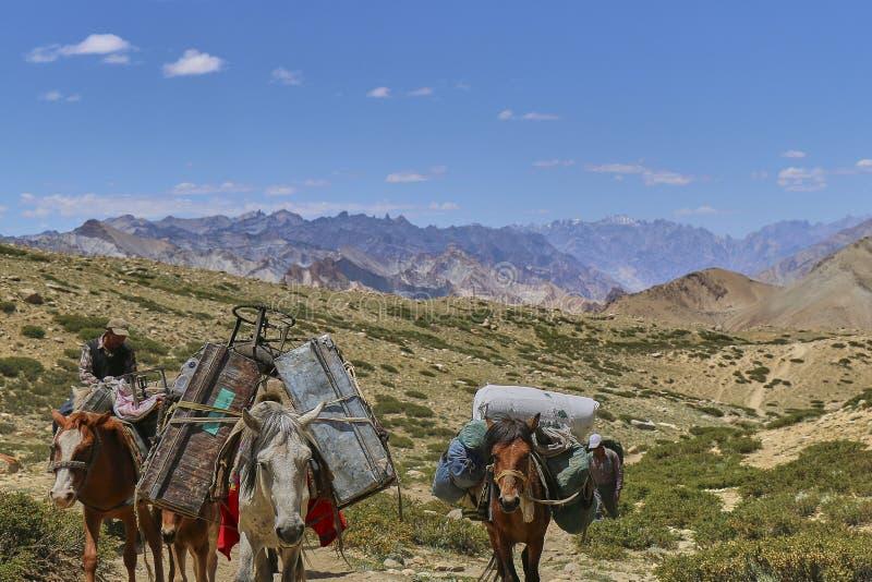 运载在喜马拉雅山山, Markha谷,拉达克,印度的马和骡子重的物品 免版税库存照片