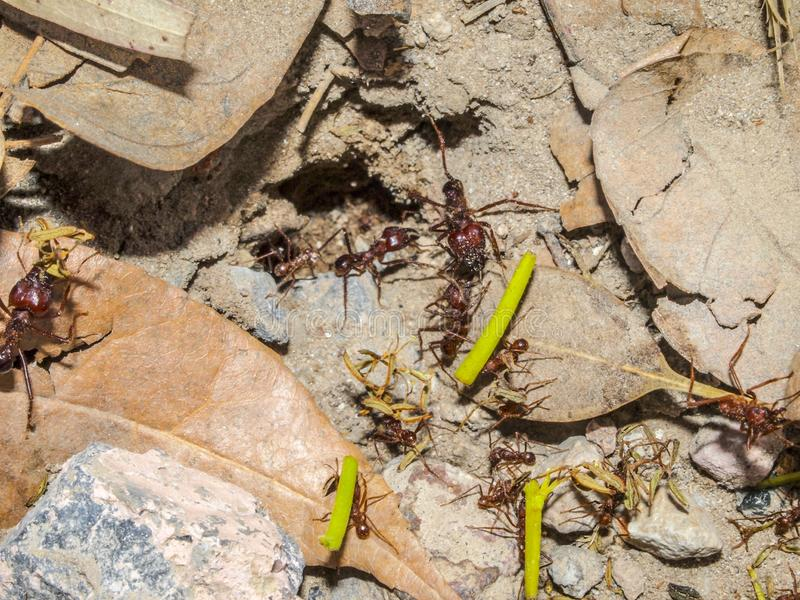 运载在沙子的小组红色蚂蚁分支在岩石之间和烘干叶子 库存照片
