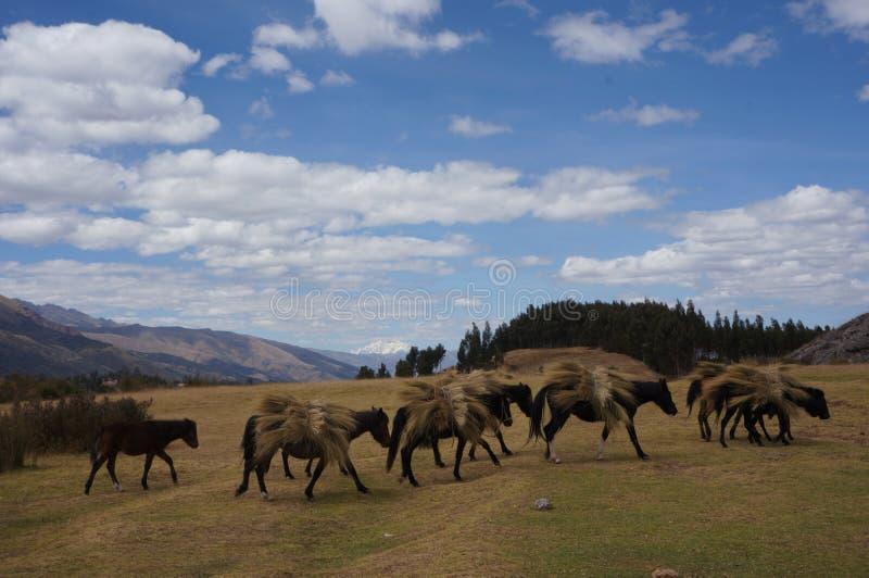 运载干草的秘鲁-库斯科马 免版税图库摄影