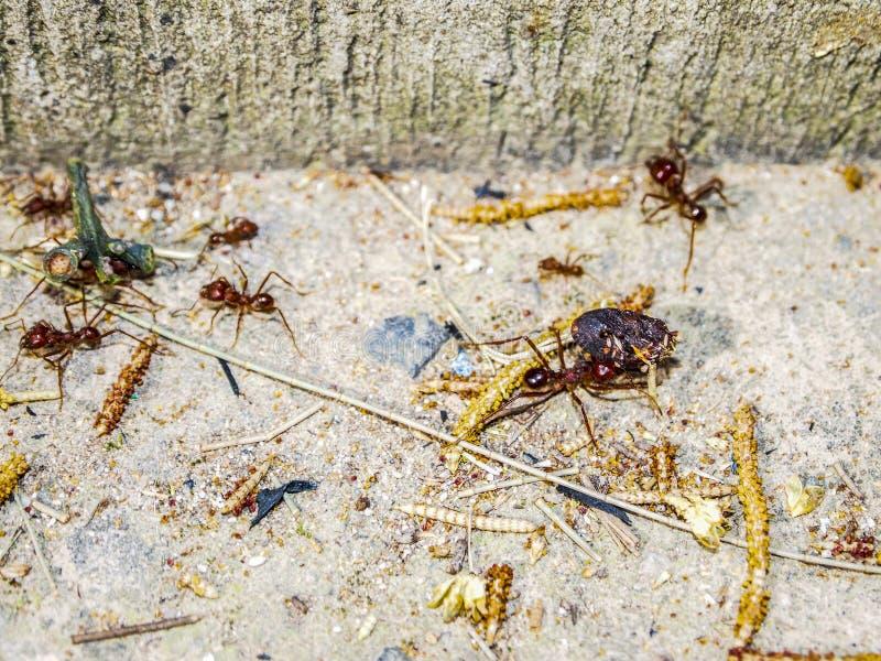 运载昆虫的小组红色蚂蚁 库存照片