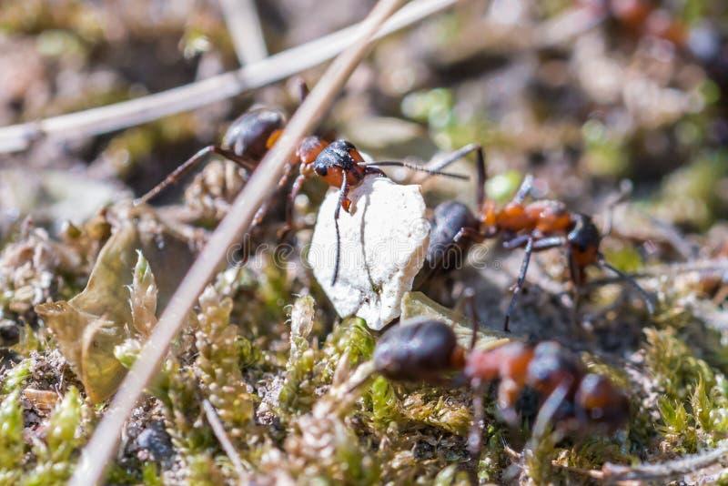 运载蛋壳的片断蚂蚁的特写镜头 库存图片