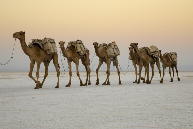 运输从湖Assale的骆驼有蓬卡车盐块 库存照片