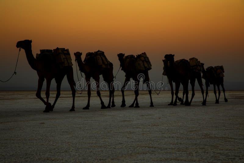 运输从湖Assale的骆驼有蓬卡车盐块 免版税图库摄影