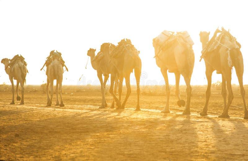 运输从湖Assale的骆驼有蓬卡车盐块 免版税库存照片