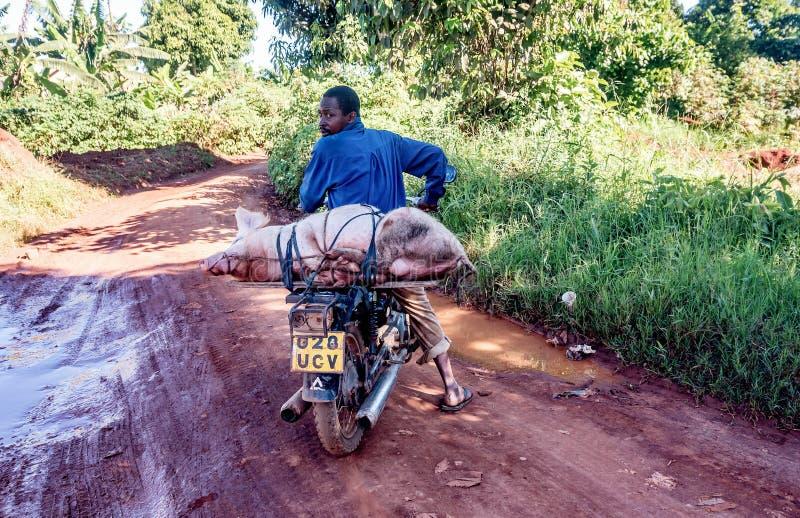 运输在motorcyc的未认出的乌干达人家养的猪 免版税库存图片