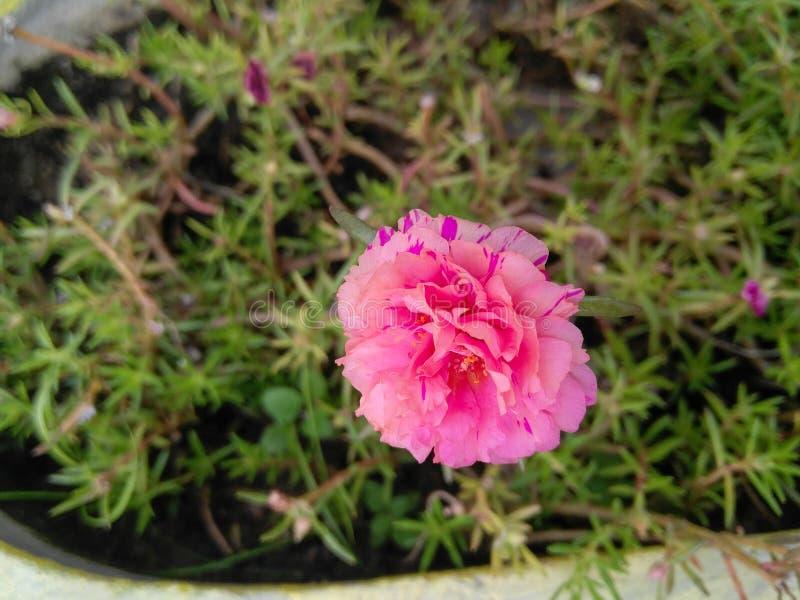 近景:花园中种植的粉苔玫瑰花和绿叶植物,自然摄影,图案背景 免版税库存图片