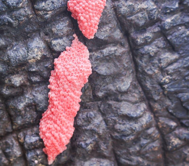 近江石底粉红色通道樱桃壳淡水或金苹果甲产蛋 图库摄影