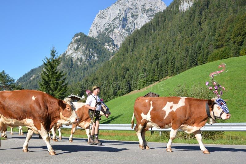 返回的母牛 免版税库存图片