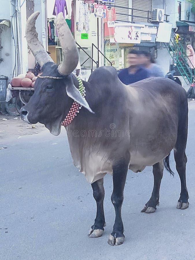 这个动物的名字是母牛 免版税库存图片
