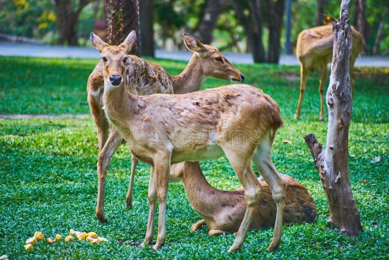 这个图象是关于泰国羚羊,曼谷泰国 免版税图库摄影