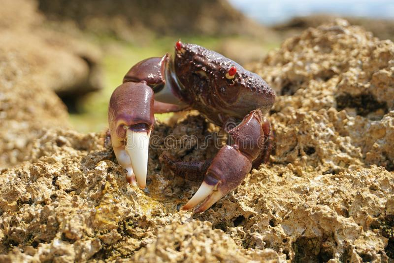 这个螃蟹让我选他由他的姿势决定 库存照片