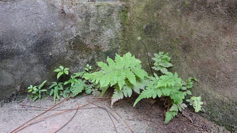这些蕨在混凝土有顽强的生命力和生了根 库存照片